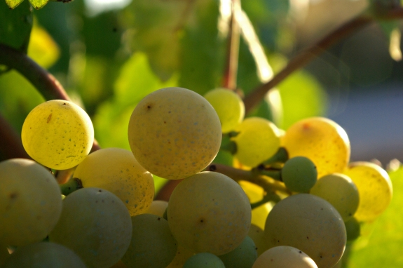 Xarel_lo_Cava_grapes